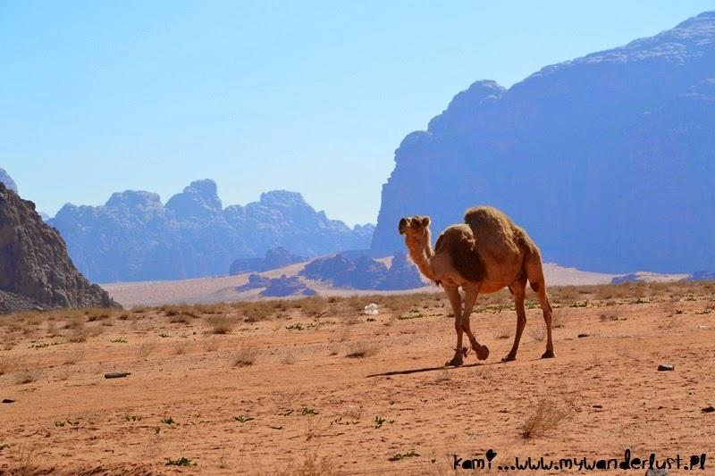 wadi-rum-camel