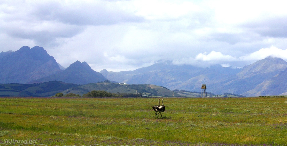 southafrica_ostrichpair